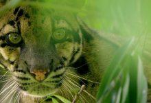 «Big Cat Month» é o especial do Nat Geo Wild dedicado aos felinos