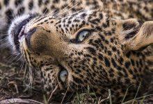 «Big Cat Month» é o especial do Nat Geo Wild em fevereiro